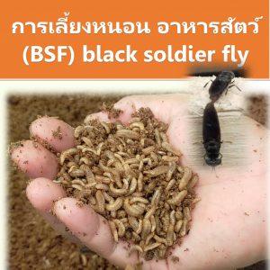การเลี้ยงหนอน อาหารสัตว์ (BSF)